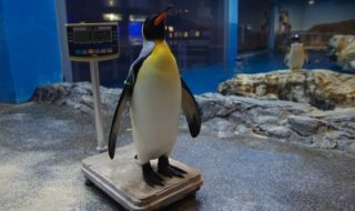 ペンギンの計量